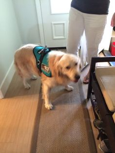Izzy is in his service dog vest