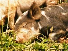 Best Source for Pastured Pigs Experts!