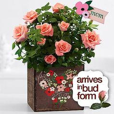 """Pro Flowers ~ Mom's Rose Garden $34.99 ~   •Miniature pink rose bush (approximately 10-12"""") •Includes our exclusively designed 6"""" wooden box with floral heart  •Includes matching floral motif """"mom"""" pick •For longest enjoyment, plant arrives with buds and tight blooms, ready to blossom •Care instructions included •Item #30137422  Shop @ www.proflowers.com"""