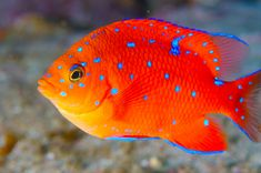 Juvenile Garibaldi do this on silk, eye popping blue floss, stuff so they can free stand, make a giggle of garibaldis! Pretty Fish, Beautiful Fish, Cool Fish, Underwater Creatures, Ocean Creatures, Cool Sea Creatures, Colorful Fish, Tropical Fish, Saltwater Aquarium Fish