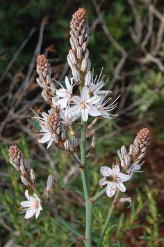 Abrótea-da-primavera (Asphodelus ramosus) @ Arrábida Natural Park - Portugal