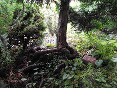 Verdoni Dwarf Hinoki Cypress for the Miniature Garden
