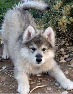 Giant wolamute puppy im going to make him mine!