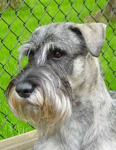 The Art of Painting | Champagne Standard Schnauzers