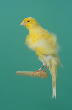 20115700003 Posture Canary - Northern Frill.jpg 455×700 pixels