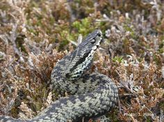 Definitely one of my favourite wildlife sightings so far this summer - Adder on the Cairngorms plateau (see http://www.arcguiding.com/blog/remote-but-definitely-not-lifeless-cairngorms/ for more details)