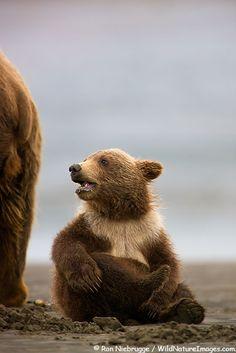 Grizzly Bear sow with cub,  Lake Clark National Park, Alaska