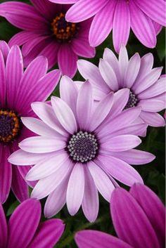 gazania, forma un macizo de flores de bellísimos colores que van desde el blanco al violeta, abriendo diariamente ante la presencia del sol como una verdadera enamorada.Bellísima por su simplicidad y generosidad para florecer.Purple flowers (by jijacinta6)