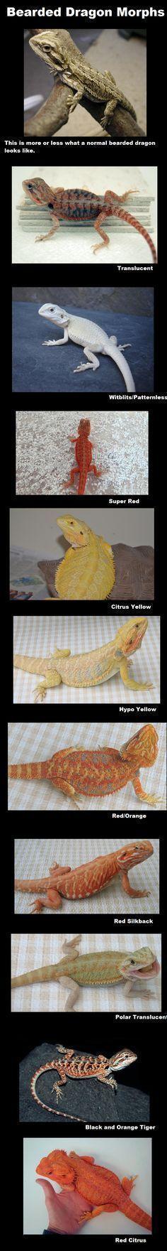 Bearded Dragon Morphs #funny #lol #humor #beardeddragonfunny