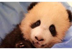 Pairi Daiza maakte na een ellenlange ceremonie rond 10u30 deze ochtend de naam bekend van de babypanda die op 2 juni werd geboren. Het diertje kreeg de naa...