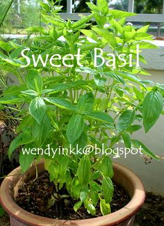 Sweet Basil Plant - Check out the free plant identification mobile app at GardenAnswers.com