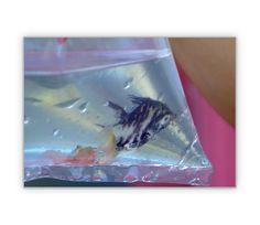 Zierfisch in der Tüte - http://www.1agrusskarten.de/shop/zierfisch-in-der-tute/    00009_0_1580, Aquarium, Fisch, Foto, Geschenk, Grußkarte, Gutschein, Klappkarte, Tiere00009_0_1580, Aquarium, Fisch, Foto, Geschenk, Grußkarte, Gutschein, Klappkarte, Tiere