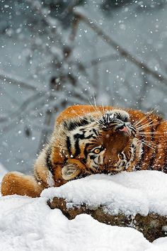 """""""save the tiger"""" Save The Tiger, Tiger Love, Mundo Animal, My Animal, Beautiful Cats, Animals Beautiful, Big Cats, Cats And Kittens, Chat Lion"""