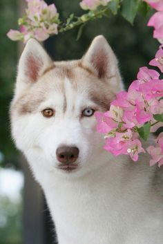 Wonderful All About The Siberian Husky Ideas. Prodigious All About The Siberian Husky Ideas. Beautiful Dogs, Animals Beautiful, Cute Animals, Husky Puppy, Husky Mix, Siberian Husky Facts, Siberian Huskies, Siberian Cats For Sale, White Husky