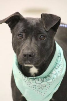 RTO> NAME: Monica ANIMAL ID: 34521520 BREED: Retriever mix SEX: female(spayed) EST. AGE: 2 yr Est Weight: 35 lbs Health: Heartworm neg Temperament: dog friendly people friendly ADDITIONAL INFO:RESCUE PULL FEE: $35 Intake date: 5/11 Available: 5/19