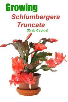 "Holiday cactus in flower with text reading ""Growing schlumbergera truncata (crab cactus)"". Flower Garden Images, Easter Cactus, Cactus Care, Epiphyte, Garden Projects, Garden Tips, Garden Ideas, Soil Layers, Christmas Cactus"