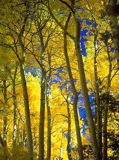 A glowing grove of fall aspens in the June Lakes Loop.