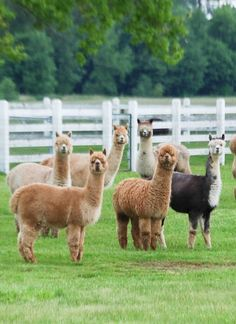 I'm obsessed with lamas and alpacas!!!