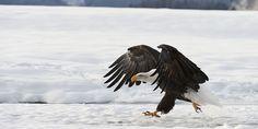 Adlerfedern haben für die nordamerikanischen Ureinwohner besondere Bedeutung…