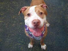 PRINCE - ID#A1003688  I am a neutered male, yellow brindle and white Pit Bull Terrier mix.  The shelter staff think I am about 4 years old.   I weigh 65 pounds.