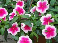 Vinca - flowers all summer long.
