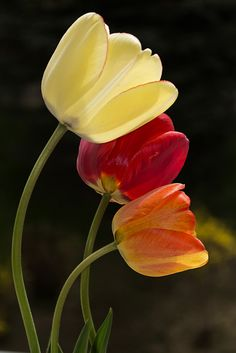https://flic.kr/p/efjiZB | Tulips (15) | All rights reserved! Copying and distribution prohibited!