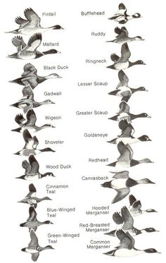 Ducks at a Distance: A Waterfowl Identification Guide by Hines, Robert W. (TAG:LINK=>ARCHIVE.ORG; PUBLIC DOMAIN)