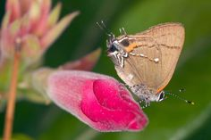 Fulvous Hairstreak (Electrostrymon angelia), Florida, USA. Florida Museum of Natural History Lepidoptera Image Gallery, Alan Chin-Lee, photographer.