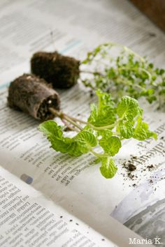 Mintusta on moneksi - Viherpeukalot Blogi How To Dry Basil, Herbs, Food, Essen, Herb, Meals, Yemek, Eten, Medicinal Plants