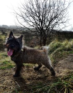 By florianradix on Flickr Cairn Terrier