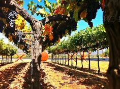 2012 Pre-Harvest at Blackbird Vineyards in Napa Valley