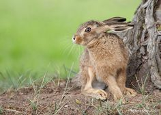 Brown Hare leveret                                       Wildlife Photographic Journals