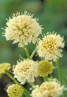Scabiosa atropurpurea 'Fata Morgana' (Sweet scabious): HA, 3'sq, full sun, dry, well-drained soil/any PH; creamy apricot yellow flowers June-Oct. if deadheaded or used as cut flower; Bee & butterfly friendly, excellent cut flower/dried, fragrant, xersicape