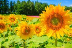 Slunečnice stažení HD tapety Online Image Editor, Online Images, Samsung Galaxy S5, Ipad Mini, Wallpaper, Galaxy Note, Plants, Sunflowers, Backgrounds
