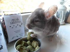 alfalfa - lucerna #chinchilla #chinchillas #rodents #szynszyle #szynszyla