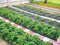 Rețetă pentru cultivarea roșiilor rămasă din bătrâni. Nu ne-a dezamăgit niciodată! - Fasingur Horticulture, Garden Bridge, Vegetable Garden, Garden Landscaping, Stepping Stones, Solar, Neon, Landscape, Outdoor Decor