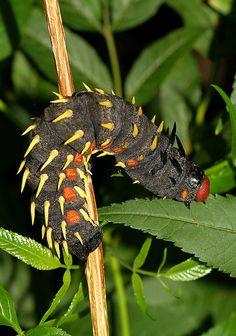 Found in Kilembe, photographed in Kasese, Uganda. Reptiles, Amphibians, Beautiful Bugs, Beautiful Butterflies, Beautiful Creatures, Animals Beautiful, Emperor Moth, Cool Bugs, Moth Caterpillar