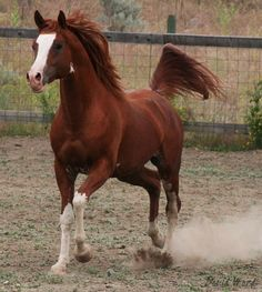 FV Painted Farwa (Ohadi Ben Rabba x FV Painted Lady) 2006 chestnut sabino stallion bred by Fairview Arabian Stud, Canada Horses And Dogs, Cute Horses, Horse Love, Wild Horses, Most Beautiful Animals, Beautiful Horses, Beautiful Creatures, Majestic Horse, All The Pretty Horses