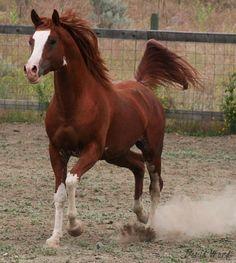 2006 Chestnut Sabino Stallion standing at Fairview Arabians
