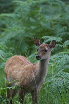 baby deer. taken from my flikr
