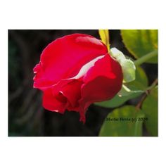 Thanks, Carole (Milford, NJ) for buying the Red Rose Bud Framed Photography Print (Selected Frame)  Enjoy! -Martie   http://www.zazzle.com/red_rose_bud_print_select_your_frame-228414280993979886?rf=238706427652551388