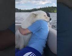 Image result for hug a samoyed