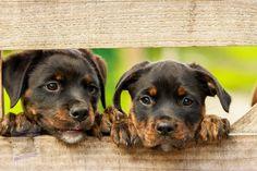 Teacup Dog Breeds, Teacup Puppies, Cute Puppies, Cute Dogs, Dogs And Puppies, Teacup Yorkie, Chihuahua Dogs, Welsh Corgi Pembroke, Norfolk Terrier