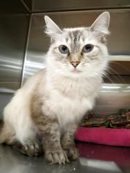 ALEXA - PETITE SIAMESE/HIMALAYAN MIX SWEETHEART! is an adoptable Siamese Cat in Plano, TX. My name is ALEXA. I was dumped at the kill shelter when my previous owner decided they no longer wanted a cat...