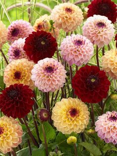 Ranunculus, Dahlia, Garden Landscaping, Landscape, Plants, Gardens, Persian Buttercup, Dahlia Flower, Plant