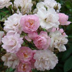 Guirlande Rose - Die nach Nelken duftenden Blüten erscheinen in leuchtendem Rosa und werden später völlig weiß. Die Pflanze ist gut verzweigt, hat kaum Stacheln und ist sehr robust