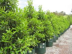 Selection, spacing & planting tips to help you screen / Collections − Speciality Trees