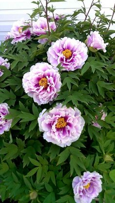 My Peony Bush Perrenial Flowers, Peony Bush, Paeonia Lactiflora, Lilies Of The Field, Peonies Garden, Clematis, My Flower, Garden Projects, Planting Flowers