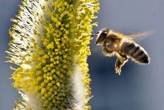 Pestizide aus der Landwirtschaft bedrohen die Bienen in Europa. Die Umweltschutzorganisation Greenpeace fordert deshalb jetzt ein Verbot der...