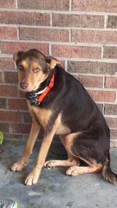 12/16/16Leroy Dog • Border Collie & Setter Mix • Young • Male • Medium Saving Our Companion Animals - Fort Bend County Rosenberg, TX Leroy Leroy Leroy